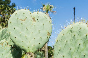 Heart shaped prickly pear cactus leaf
