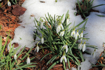 Many snowdrops in the forest