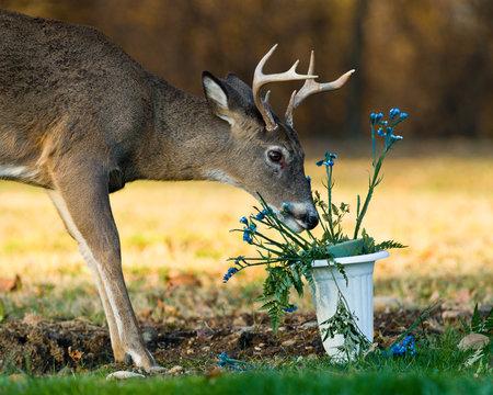 Deer eating Flowers