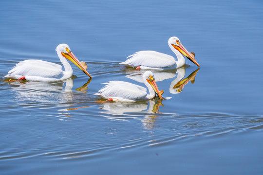 American white pelicans, Shoreline Park, Mountain View, California