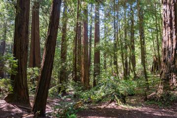 Redwood forest, Pescadero Creek County Park, San Francisco bay, California