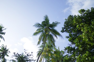 Palms with coconuts and blue sky background (Ari Atoll, Maldives)