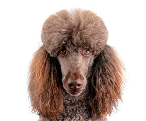 Portrait of Standard poodle isolated on white background