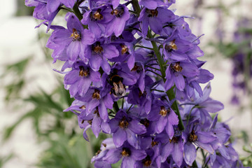 Bee collects honey on purple flowers. Harvesting honey.