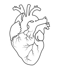 human heart as outlines, contour line