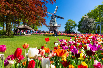 Spoed Fotobehang Europese Plekken Blooming colorful tulips flowerbed in public flower garden with windmill. Popular tourist site. Lisse, Holland, Netherlands.