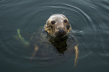 Male Of A Common Seal Swims In The Rainy Water Of Gairloch Harbor In Scotland