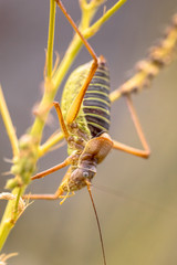 Saddle backed bush cricket