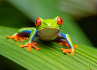 Photo sur Plexiglas Grenouille Red-eyed tree frog (Agalychnis callidryas) portrait, Alajuela, Costa Rica.