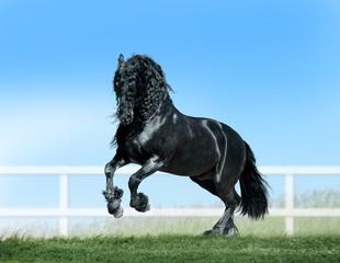 friesian horse runs free in summer paddock