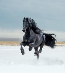 bay lusitano horse in winter field
