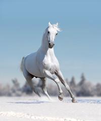 white arabian horse runs free in winter field