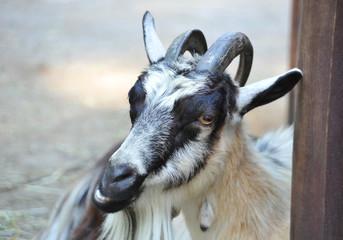Goat in farm corral