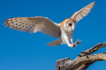 Barn Owl in Flight Preparing for a Landing on Bare Branches Fototapete