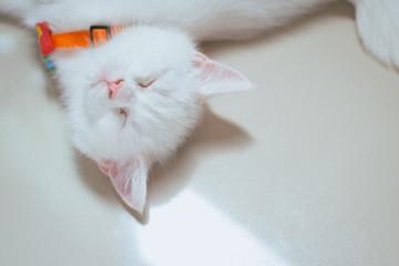 Cat Scottish white fluffy cute little animal on floor