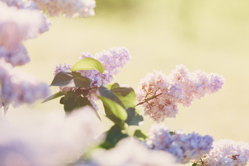 Blooming pink lilac bush at spring time with sunlight. Blossoming pink and violet lilac flowers. Spring season, nature background