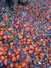 Ripe red palm oil in the country.
