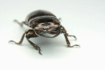 Old-sculptured stag beetle isolated on white background.Close-up photography, macro body of black beetle,