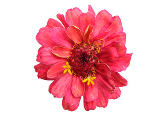 Pink flowers have yellowand red stamens on a white background.Isolated flower picture.