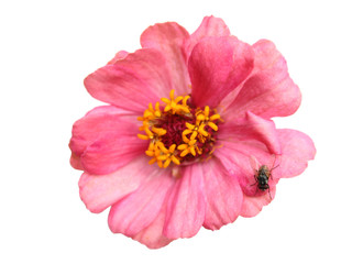 Flowers are pink petals. And beautiful yellow pollen. But there are flies. Feels like a stink