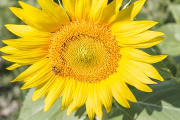 bee on sunflower with sunshine on it