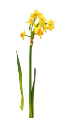 Bunch-flowered narcissus flowers and leaves