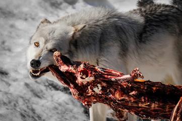 Alpha male wolf biting into an elk caucus.