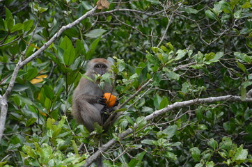 A little brown monkey sits on the branches of a mangrove tree, holds an orange in its paws and looks at the camera.