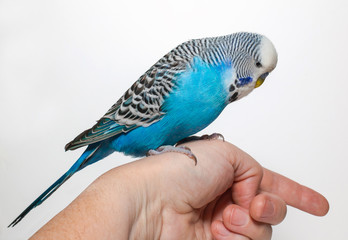Вlue wavy parrot sits on the hand
