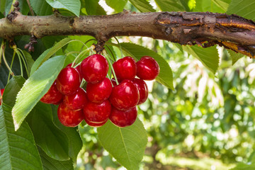 bunch of ripe cherries on cherry tree with copy space