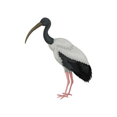 Australian white ibis. Large bird with black and white feathers and long beak. Wildlife theme. Detailed flat vector icon