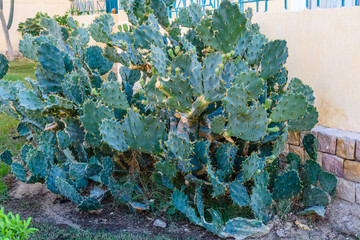 Opuntia plant growing in a garden on summer