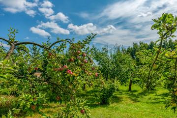 dojrzałe jabłka