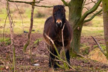 Exmoor Pony zwischen Bäumen im Naturschutzgebiet Rhäden