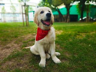 golden retriever puppy in the park