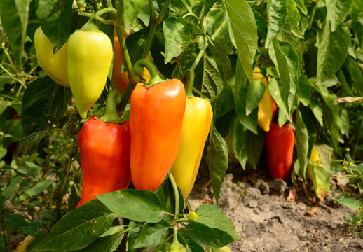 Bell pepper planting in the garden. Growing, harvesting sweet bell peppers.
