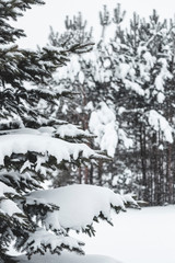 Pine tree covered with snow. Frozen tree branch in winter forest. Beautiful winter season background.