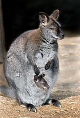 Bennett's wallaby female with her kid in the pouch. Latin name - Macropus rufogriseus