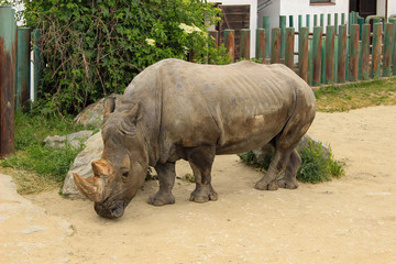 The white rhinoceros or square-lipped rhinoceros (Ceratotherium simum) is the largest extant species of rhinoceros.