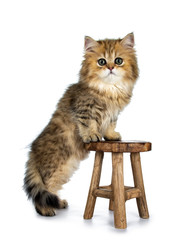 Cute golden British Longhair cat kitten,  standing on hind paws side ways beside brown wooden stool, tail and one paw hanging down. Looking at lens with big green eyes. Isolated on white background.