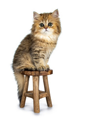 Cute golden British Longhair cat kitten, sitting side ways on brown wooden stool, tail hanging down. Looking at lens with big green eyes. isolated on white background.
