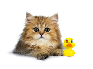 Cute golden British Longhair cat kitten,  laying down facing front beside yellow rubber duck. Looking at lens with big green eyes. Isolated on white background.