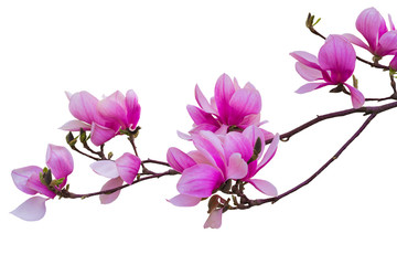 Garden Poster Magnolia Blooming twig of pink magnolia for design