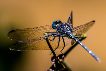 blue dragonfly resting in orange background