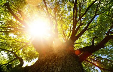 Spring nature background; big old oak tree against sunlight