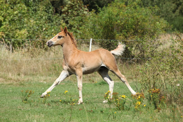 Fototapete - Running foal on pasturage