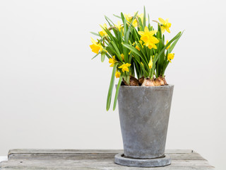 Papiers peints Narcisse narcissus in a pot indoors with white background