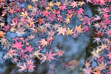 Fallen Japanese Autumn Maple leaves on pond waters