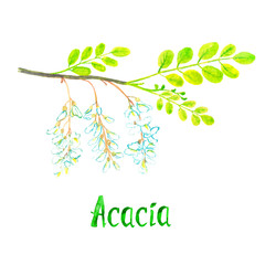 Acacia branch with green leaves and white flowers, hand painted watercolor illustration with inscription isolated on white