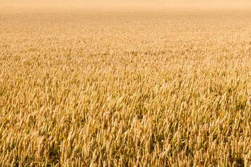 Wheat Field in Wilmington, East Sussex, UK